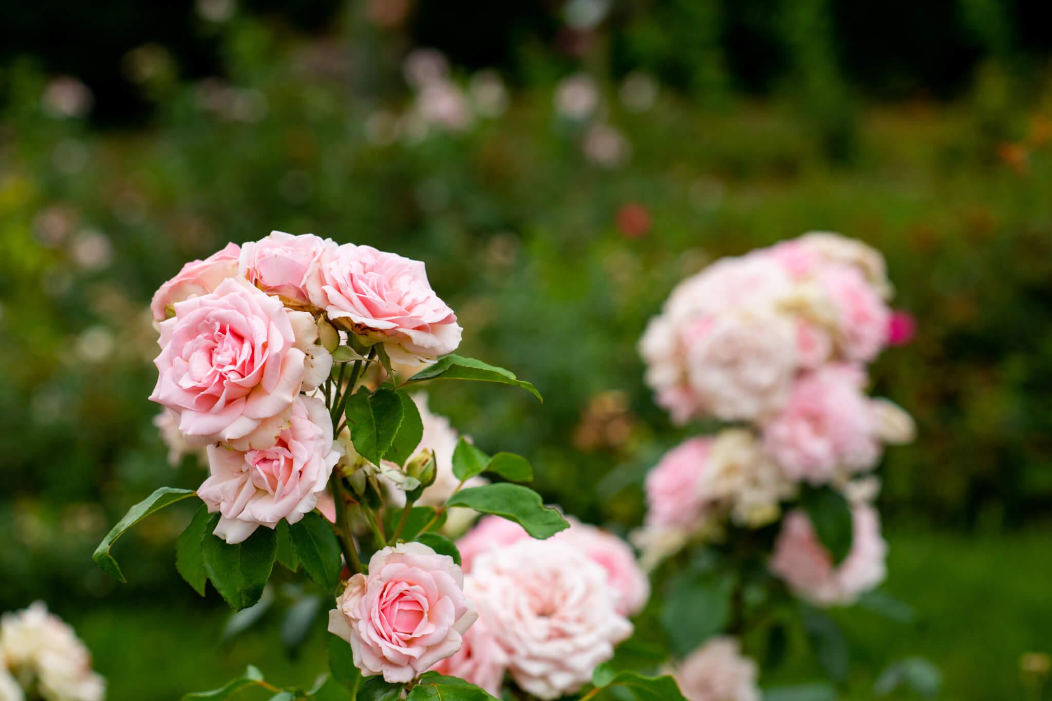 Rose Nursery Aalsmeer